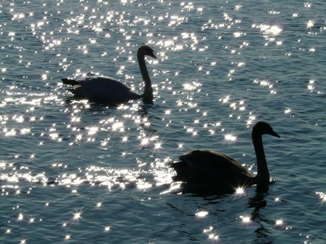 swan-10410_1280