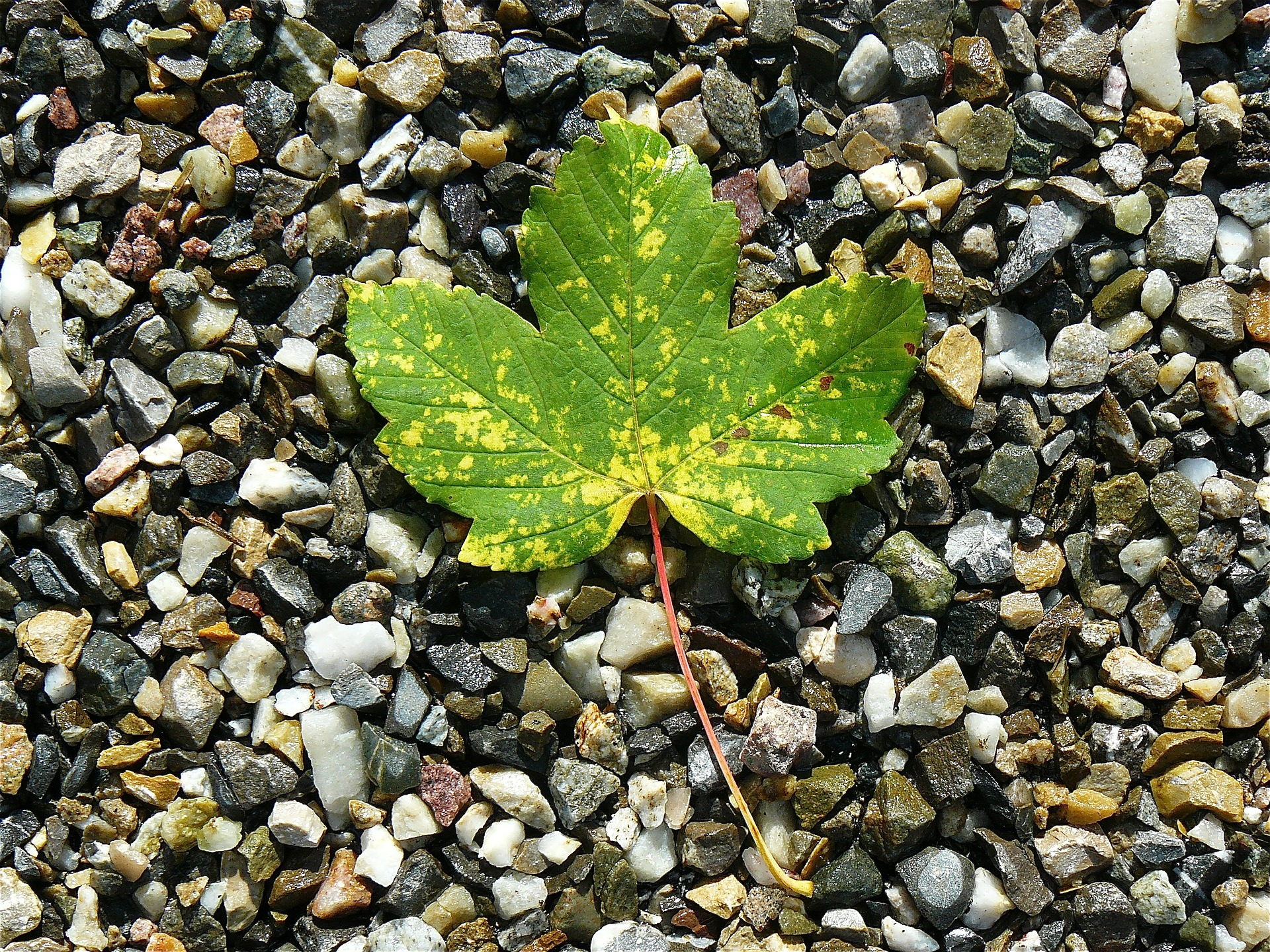 Maple leaf on stones