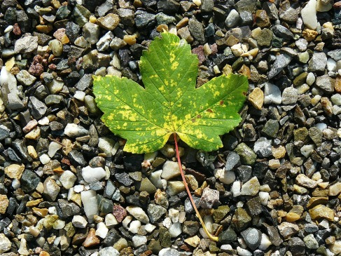 Maple leaf on stones