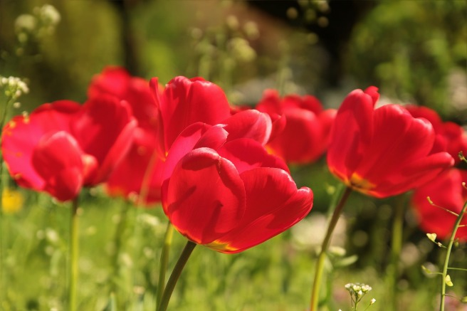 tulips red.jpg