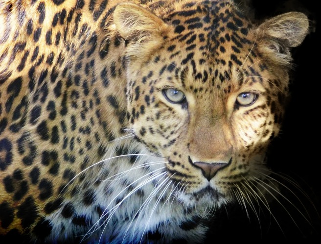 leopards eyes