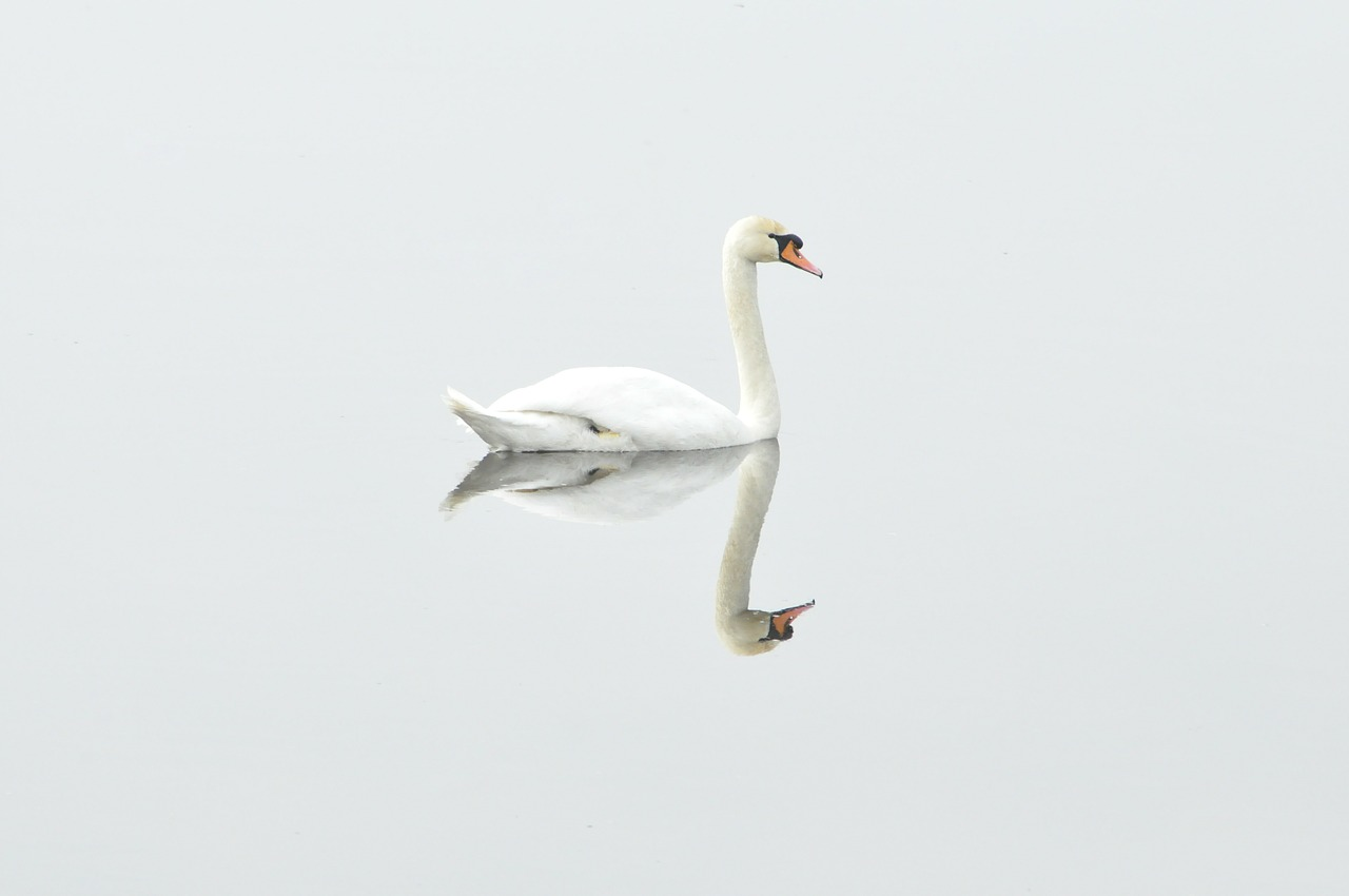 swan reflection.jpg