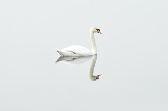 swan reflection.jpg