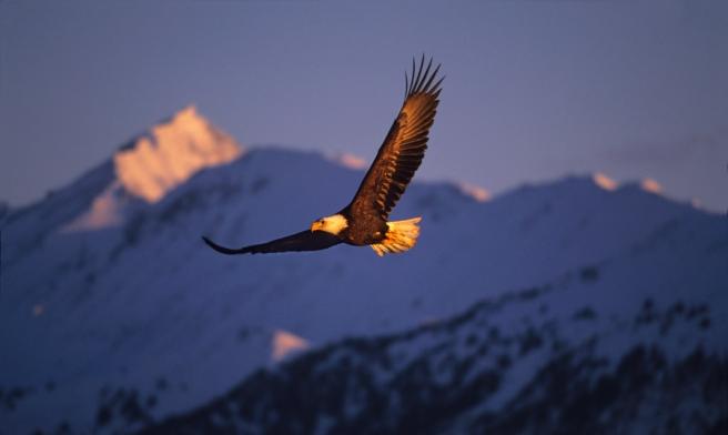 eagle bird flying soaring
